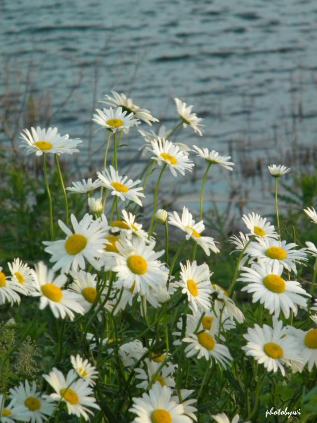 daisies at mallard lake