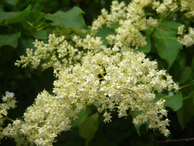 fragrant clusters