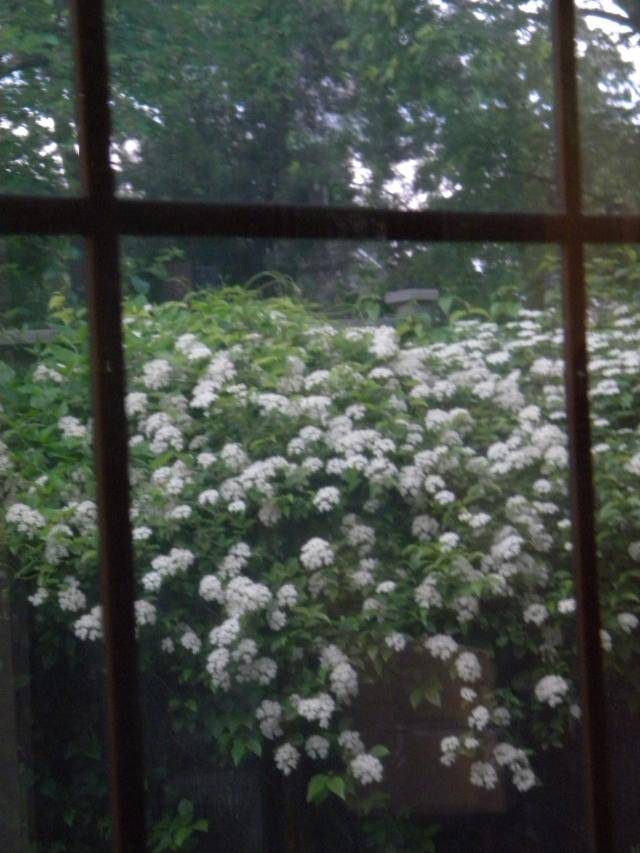 shrub all abloom in the backyard
