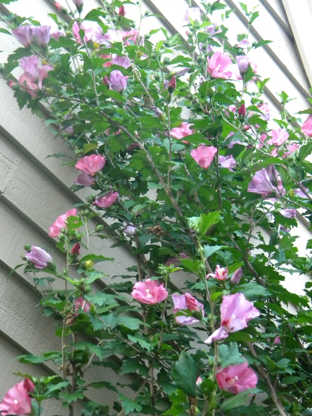 pink studded rose of sharon