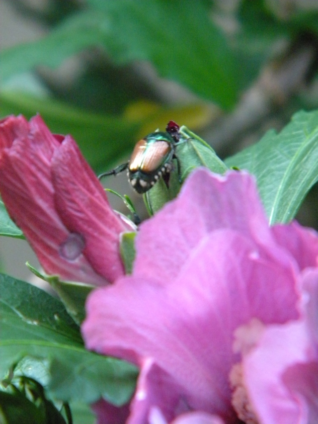 japanese beetle feeding on a leaf