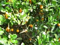 kalamansi (philippine lime)