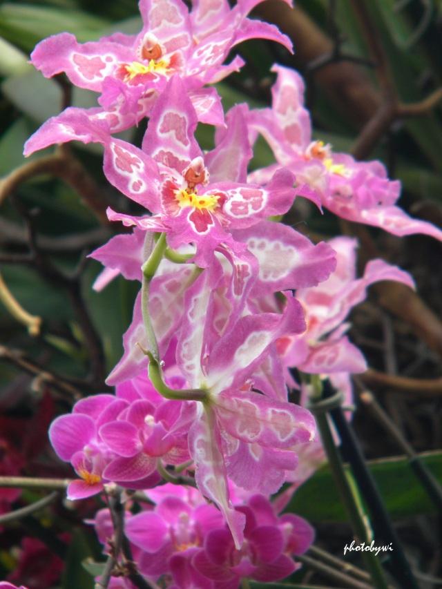 2014 orchid show, chicago botanic garden