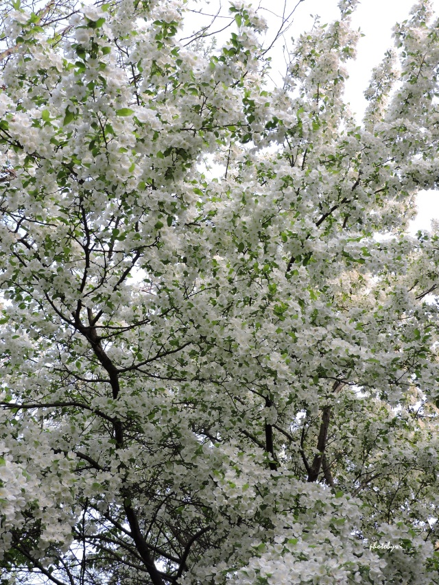 crabapple tree abloom; glorious and divine