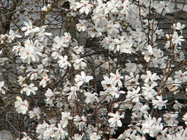our magnolia tree in its glory