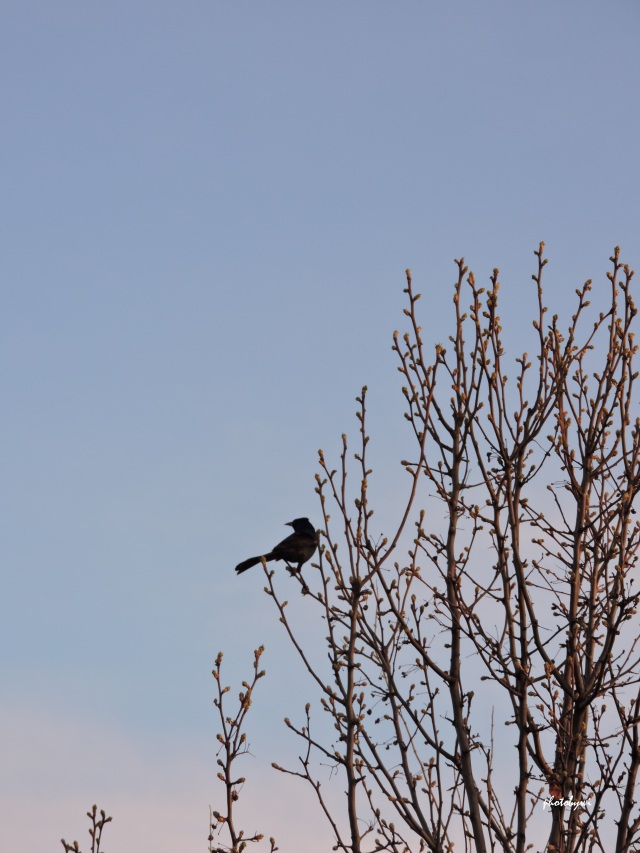 spring, mallard
