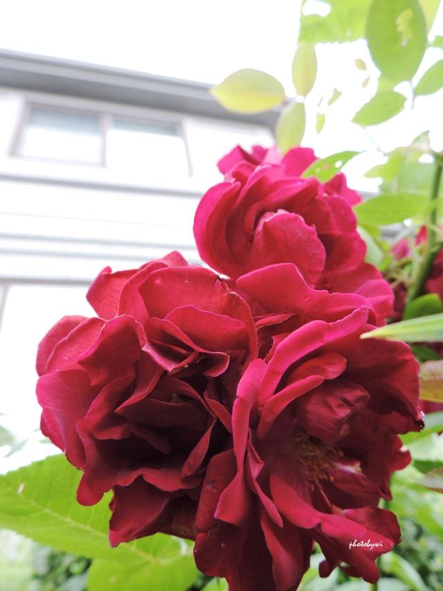 summer, roses