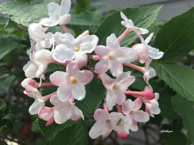 Japanese viburnum