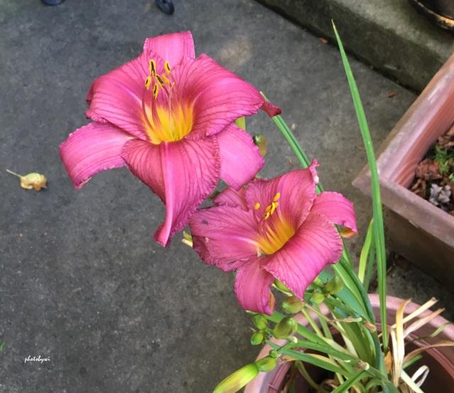 daylilies from Ernie's garden